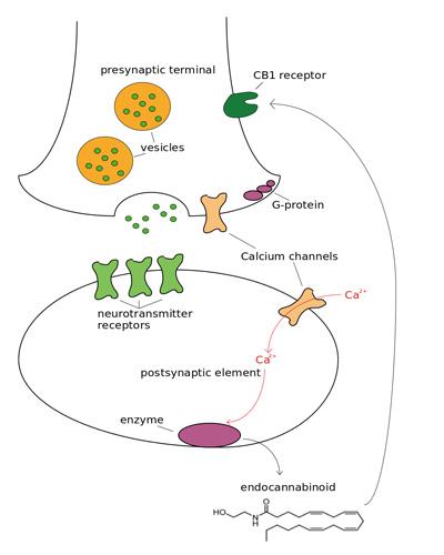 receptoren-cb1-cb2-schema