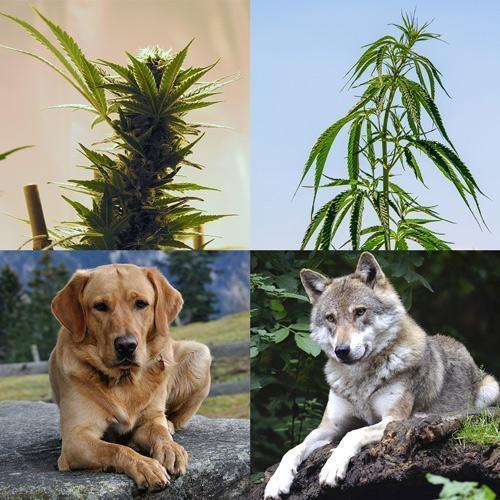 De verschillen tussen wiet en hennep zijn als de verschillen tussen wolf en hond.