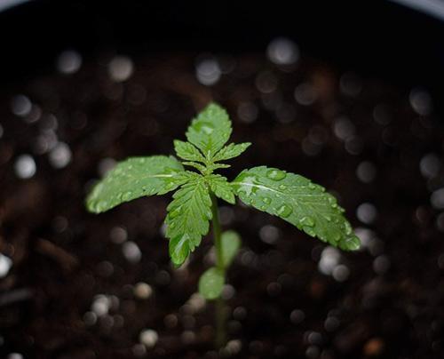 Klein wietplantje in de regen.