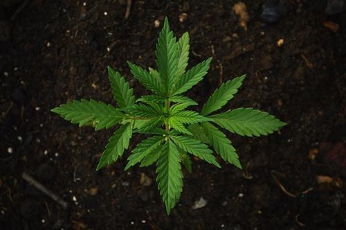 jonge wietplant